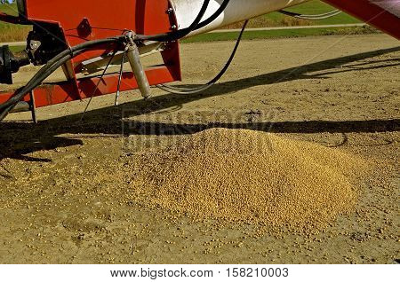 Soybeans spilled out of the elevator hopper and left lying on the ground