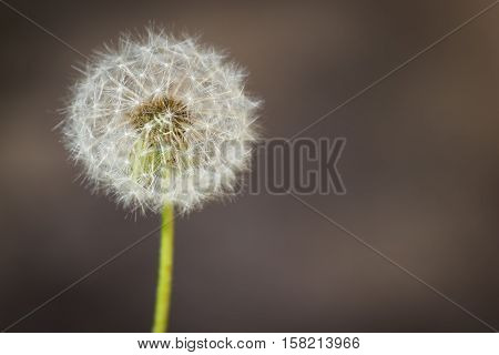 Dandelion ordinary (lat. Taráxacum officinále). A lone dandelion on a brown background