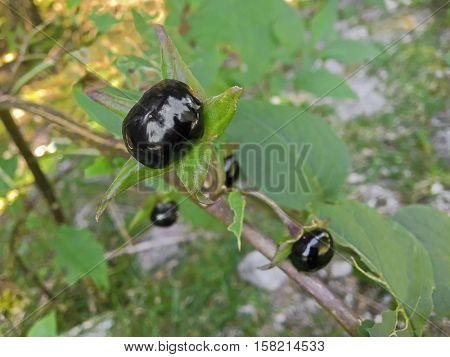 Closeup of extremely toxic Deadly nightshade berry grown in forest in Austria, Europe (Atropa belladonna)