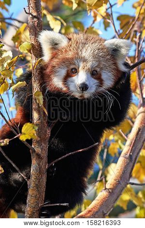 Red Panda (Ailurus fulgens) sitting in a tree