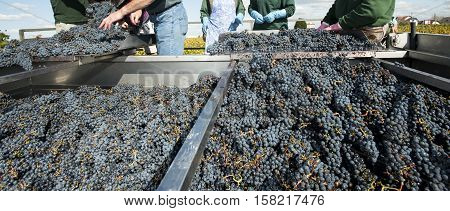 Grape harvest red bay Bordeaux Vineyard France