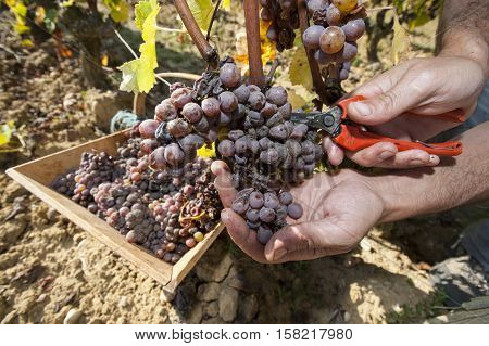 Noble rot of a wine grape grapes with mold Botrytis Sauternes France