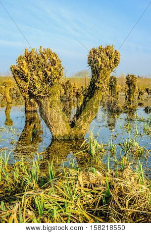 Just pruned old and irregularly shaped willow trees reflected in the mirror-smooth surface of a flooded nature reserve. It is a sunny day at the end of the winter season.