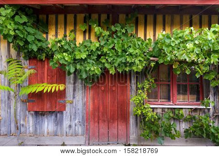 Grapevine climbing on ancient wooden facade in the village of Le Canon, Bassin d'Arcachon, France
