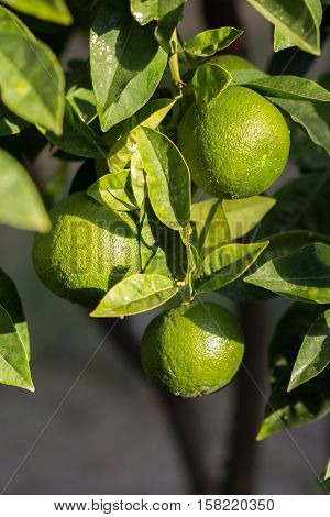 Lime tree with three lime fruits and leaves.