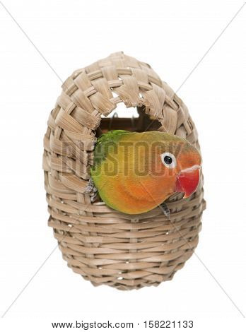 bird nest and lovebird in front of white background