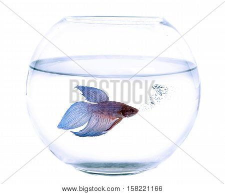 Siamese fighting fish in fishbowl in front of white background