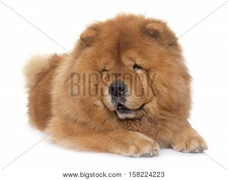 chow chow dog in front of white background