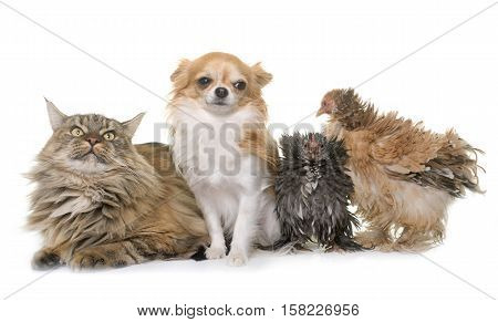 maine coon cat chicken and chihuahua in front of white background