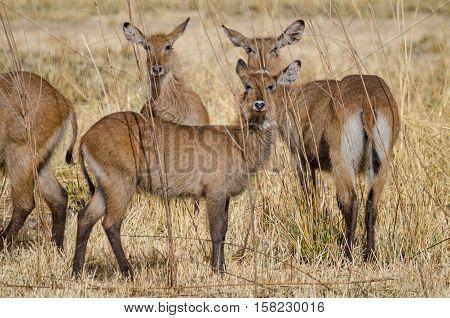 Small herd of water buck antelopes hiding in between tall dry grass in Pendjari NP, Benin, Africa