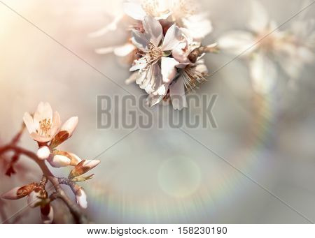 Flowering - blooming branch of fruit tree lit by sunlight (beautiful nature in spring)