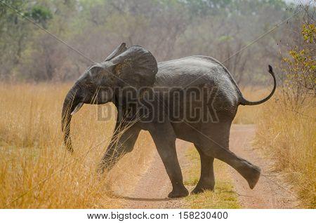 Young African elephant running across track on safari in Pendjari National Park, Benin, Africa