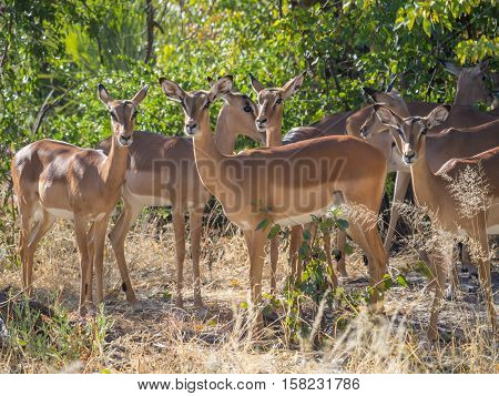 Small herd of female impala antelopes in tree savannah environment looking calm and peaceful in Moremi National Park, Botswana, Africa.