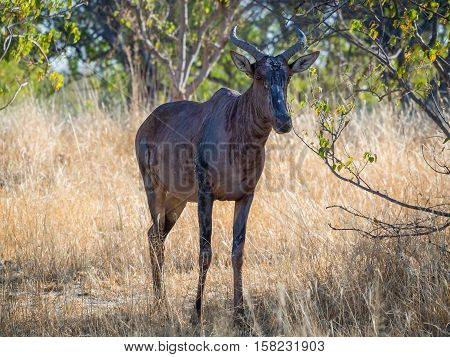 Closeup of rather ugly African hartebeest antelope in Moremi National Park, Botswana, Africa.
