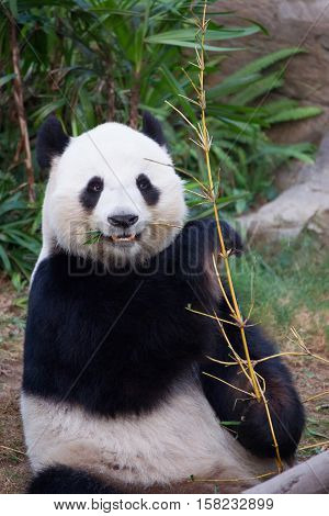 Black And White Panda Eating Bamboo Of Hk Ocean Park