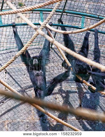 Black Headed Spider Monkey In Zoo In Besancon