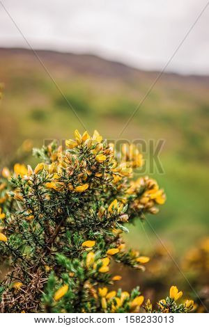 Blooming Bush At Mountains In Snowdonia National Park