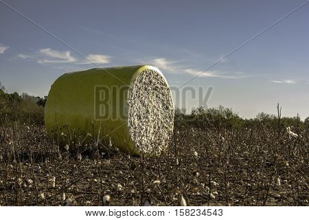 Bale of cotton sitting in a harvested cotton field with blue sky
