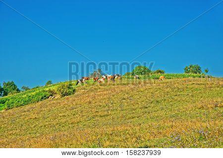 Cows At Yverdon Les Bains Jura Nord Vaudois Vaud Switzerland