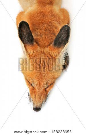 Beautiful fox cub sleeping isolated on white