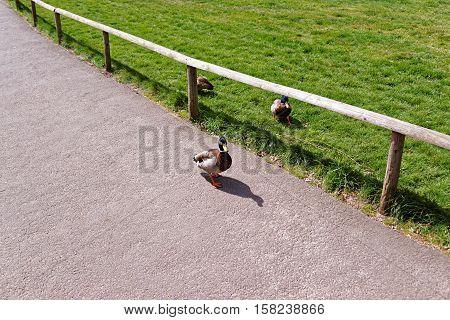 Ducks in the park in Leeds Castle in Kent in the UK.