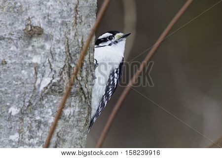Downy Woodpecker framed by two plant stems