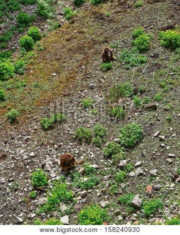 Gelada Monkey In Zoo In Citadel In Besancon
