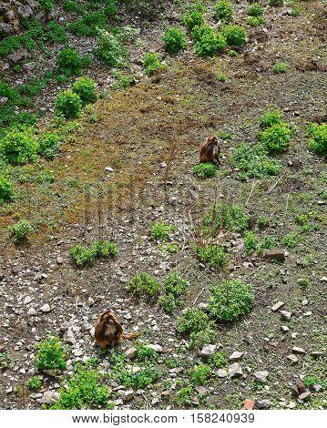 Gelada Monkeys In Zoo In Citadel In Besancon