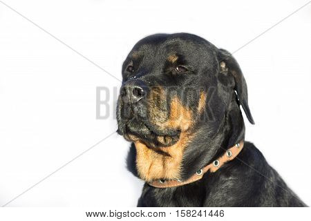Young sad girl breed Rottweiler with drooping ears.