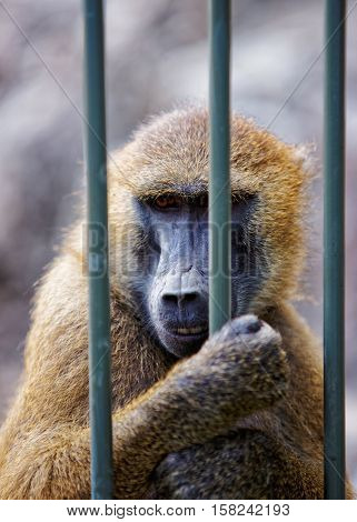 Guinea Baboon In Zoo At Citadel Of Besancon