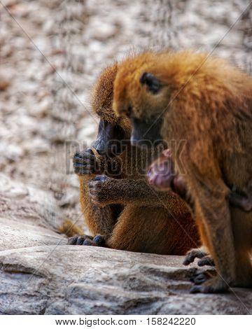 Guinea Baboon In Zoo In Citadel Of Besancon