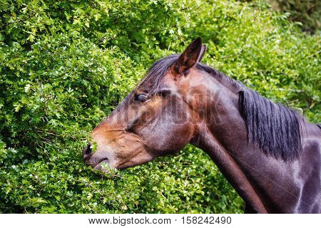 Horse Eating Green Leaves In The Meadow In Brecon Beacons