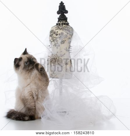 female ragdoll kitten on white background