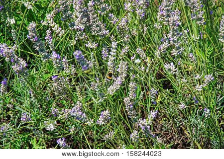 Lavender At Inner Yard In Yverdon Of Switzerland