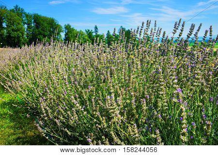 Lavender Field At Inner Yard In Yverdon In Switzerland