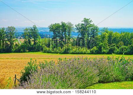 Lavender Field At Village Of Yverdon Les Bains In Switzerland