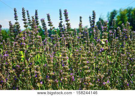 Lavender In Inner Yard In Yverdon In Switzerland