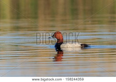 Ferruginous Duck on a lake. Danube Delta Romania