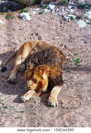 Lion In Zoo In Citadel Of Besancon