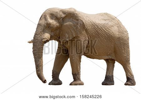 African Desert Elephant Isolated On White Background