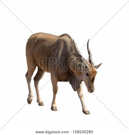 Full Body Portrait Of A Standing Eland, Isolated On White Background