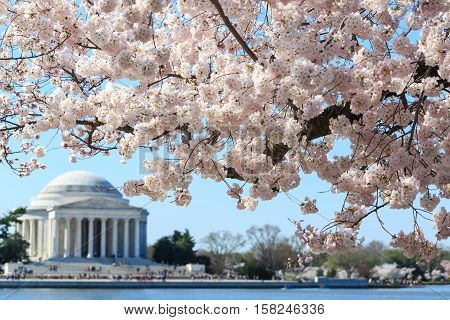 Washington DC Thomas Jefferson Memorial during Cherry Blossom Festival in spring - United States