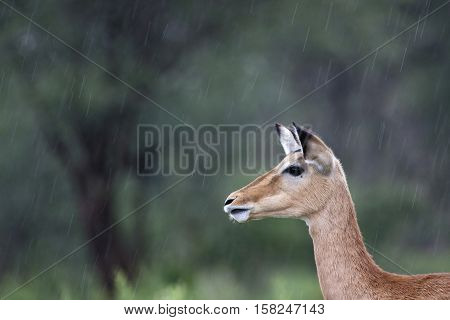 portrait of an impala in lake manyara National park, Tanzania