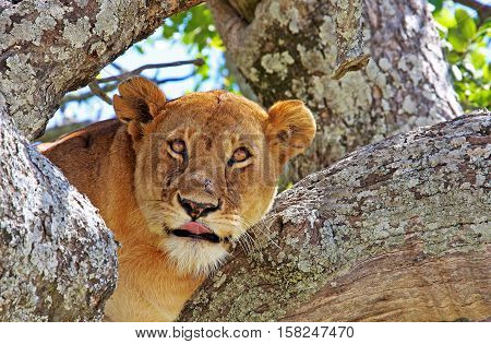 Lioness resting on the tree branch in Lake Manyara National Park, Tanzania