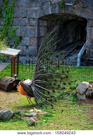 Peacock In Zoo At Citadel In Besancon