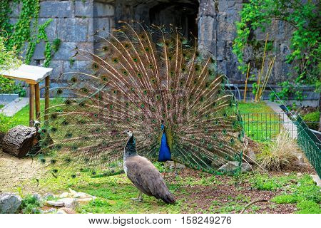 Peacock In Zoo In Citadel Of Besancon