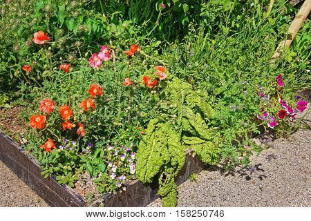Poppy Seed At Inner Yard In Yverdon In Switzerland
