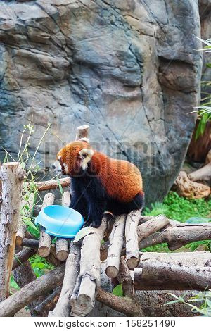 Red Panda In The Ocean Park In Hk