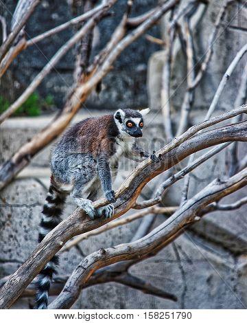 Ring Tailed Lemur In Zoo In Citadel Of Besancon