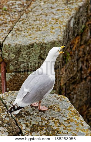 Seagull At Mont Saint Michel In Normandy Manche Of France